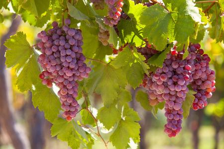 vi�edo: Las uvas en la vi�a