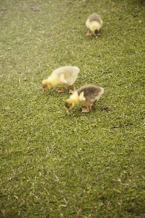 hatchling: Little geese