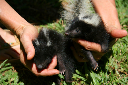 stinks: Little skunks
