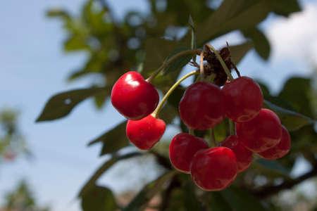 Cerezas en un árbol en un hermoso día de primavera Foto de archivo - 42287147