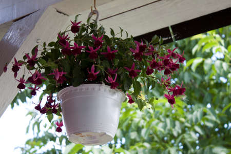 magenta decor: Beautiful flowers hanging on the terrace