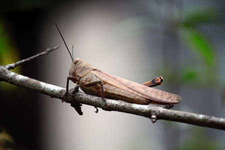 Clinging to a tree branch, this grasshopper is watching its prey, the ants. This grasshopper is camouflaged like a tree branch on which it sits