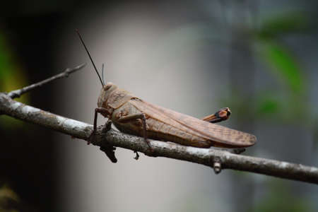 This grasshopper is perching on a tree branch with its camouflage color