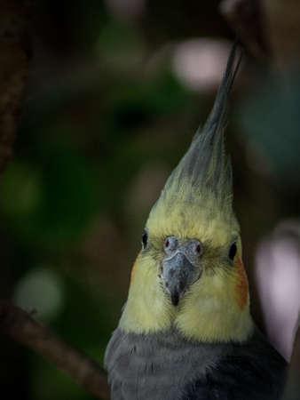 Cockatiels parrot.