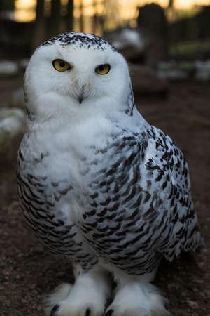 The Snow Owl.