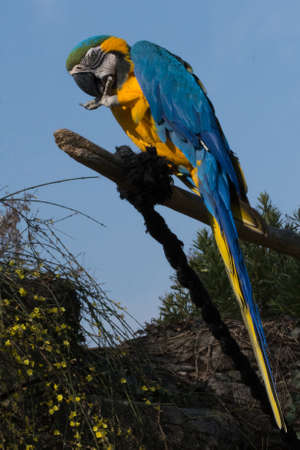 parrot on branch - Ara ararauna