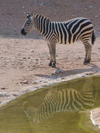 Zebra with reflection in water.