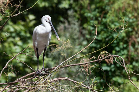 The Eurasian spoonbill or common spoonbill (Platalea leucorodia) is a wading bird of the ibis and spoonbill family Threskiornithidae. The genus name Platalea is from Latin and means broad, referring to the distinctive shape of the bill, and leucorodia i Stock Photo