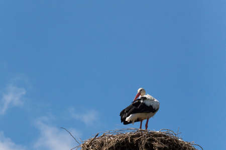 The white stork (Ciconia ciconia) is a large bird in the stork family Ciconiidae. Its plumage is mainly white, with black on its wings.