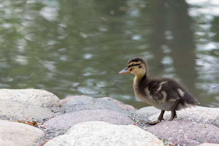 Duckling near the pond