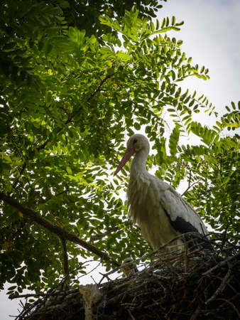 Storks are large, long-legged, long-necked wading birds with long, stout bills. They belong to the family called Ciconiidae. They are the only family in the order Ciconiiformes, which was once much larger and held a number of families including herons and