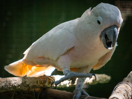 Cacatua is a genus of cockatoos found from the Philippines and Wallacea east to the Solomon Islands and south to Australia Stock Photo