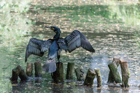 The great cormorant (Phalacrocorax carbo), known as the great black cormorant across the Northern Hemisphere, the black cormorant in Australia, the large cormorant in India and the black shag further south in New Zealand, is a widespread member of the cor