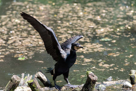 Cormorant with wings spread on branches in water Stock Photo