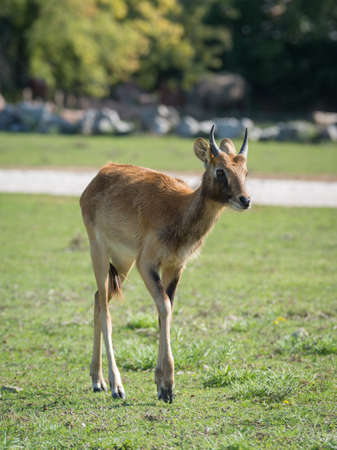 The Nile lechwe or Mrs Grays lechwe (Kobus megaceros) is an endangered species of antelope found in swamps and grasslands in South Sudan and Ethiopia