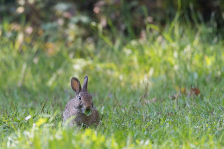 The European rabbit or common rabbit is a species of rabbit native to southwestern Europe and northwest Africa