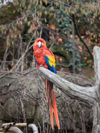 The red-and-green macaw (Ara chloropterus), also known as the green-winged macaw, is a large, mostly-red macaw of the Ara genus Stock Photo