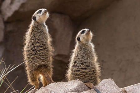 two meerkats look upwards (small carnivoran belonging to the mongoose family) Stock Photo