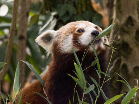 Red panda eats on a tree is a mammal native to the eastern Himalayas and southwestern China