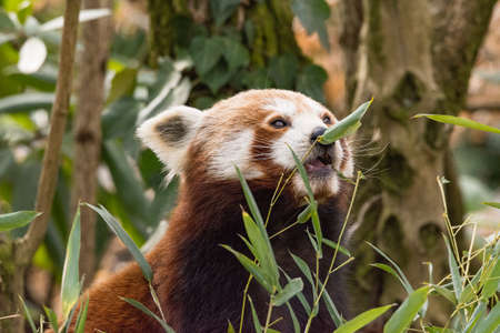 Red panda eats on a tree, the red panda (Ailurus fulgens), also called the lesser panda, the red bear-cat, and the red cat-bear, is a mammal native to the eastern Himalayas and southwestern China