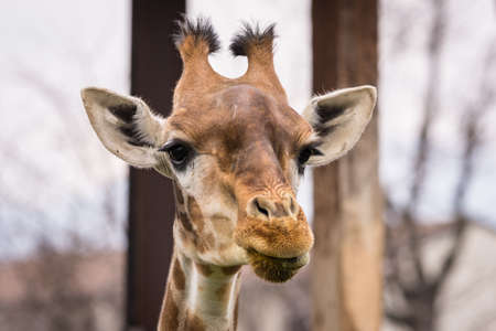 The giraffe (Giraffa) is a genus of African even-toed ungulate mammals, the tallest living terrestrial animals and the largest ruminants