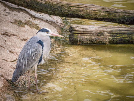 Grey Heron near water (Ardea cinerea) is a long-legged predatory wading bird of the heron family, Ardeidae, native throughout temperate Europe and Asia and also parts of Africa