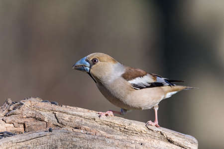The hawfinch (Coccothraustes coccothraustes) is a passerine bird in the finch family Fringillidae (Frosone comune)