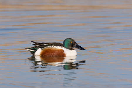 The northern shoveler (Spatula clypeata), known simply in Britain as the shoveler, is a common and widespread duck (male)