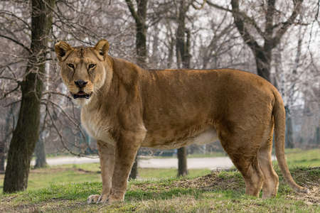 horizontal photo of a lioness who stands up and looks at you (full-length image of a large African feline) Stock Photo