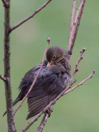Female Blackbird cleans the plumage on a tree, green shaded background, vertical image Stock Photo