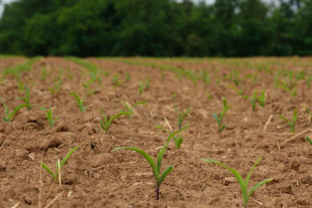 Small corn plants grow in the fields under the sun, horizontal image