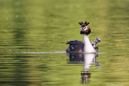 Beautiful specimen of female of great crested grebe carrying her little chick on the back and swimming in the river, horizontal image Stock Photo
