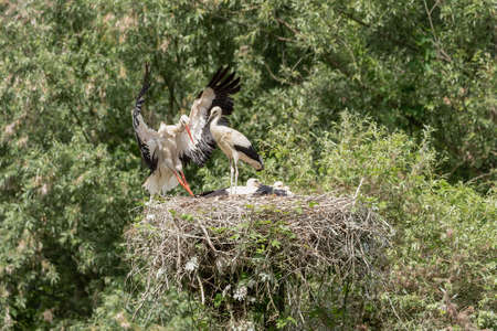 A white stork in flight reaches the young waiting in the nest, horizontal image Stock Photo