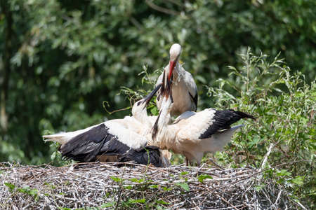 A white stork watering its young in the nest, horizontal image Stock Photo