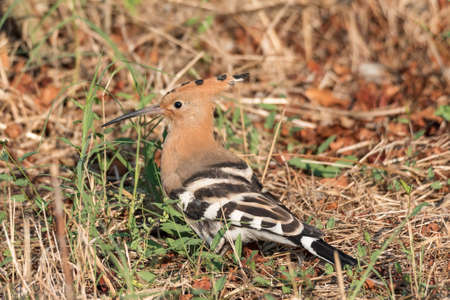 Eurasian hoopoe, portrait of brown-orange bird posed in the grass of a meadow. Horizontal image (upupa) Stock Photo