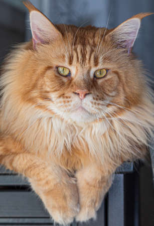 Purebred red Maine Coon cat at home, pet image