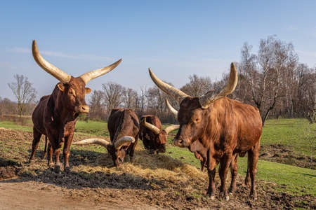 Four Watussi oxen graze and eat hay, Ankole-Watusi in a large meadow on a farm