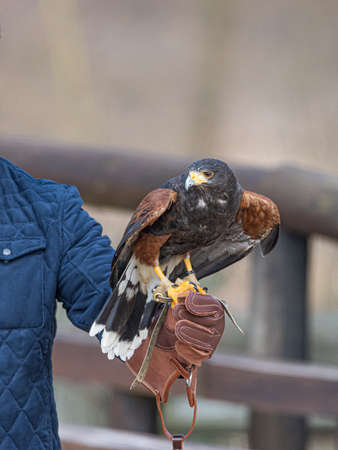 Harris's hawk formerly known as the bay-winged hawk or dusky hawk laid on a falconer's glove Stock Photo
