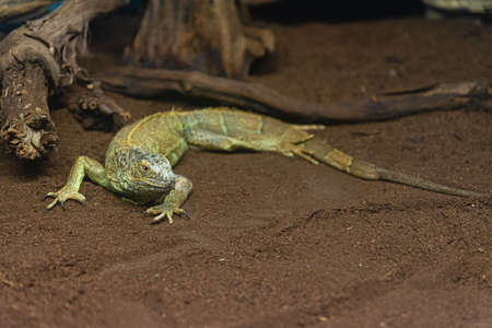 Large green yellow lizard, chestnut of small to medium size called common Agama, African reptile