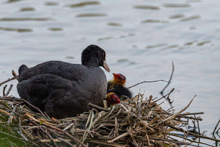 Coot takes care of its chicks in the nest on the river, wildlife photography