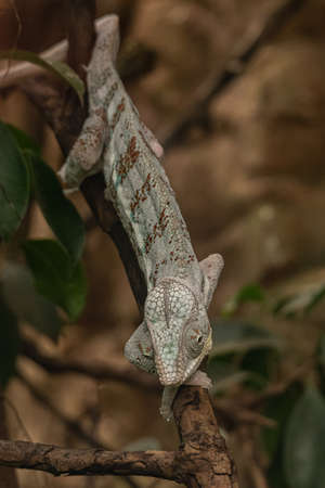 Young veiled chameleon clinging to a tree branch, small reptile