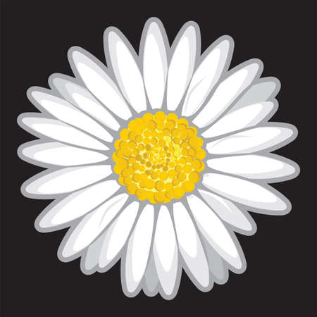 margerite: Daisy flower isolated on black