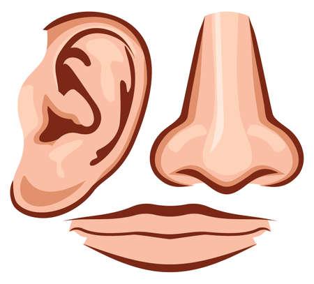 partes del cuerpo humano: ilustraci�n nariz, o�dos, boca Vectores