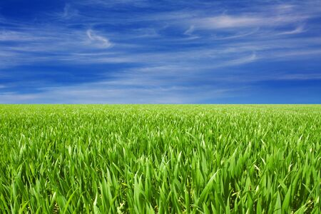 green grain field with nice cloudy blue sky Stock Photo