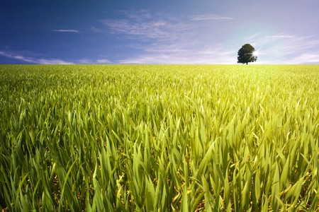 fresh grain field with a tree in back on horizon Stock Photo