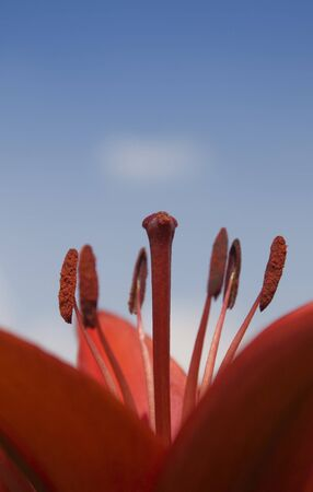 red lilium flower with nectar Stock Photo - 7311001