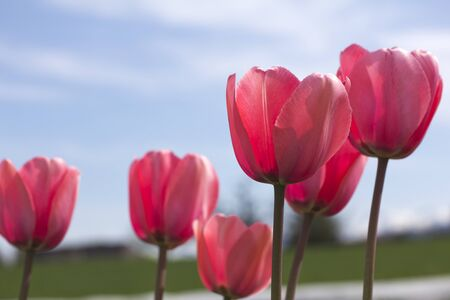 pink tulips flowers photo