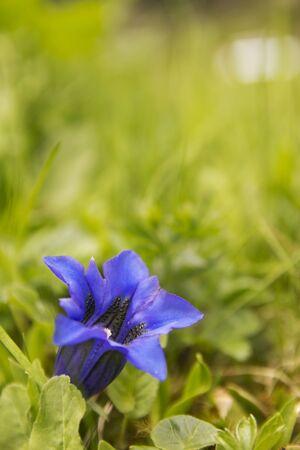 Enziane- Gentiana Swiss alpine flowers photo