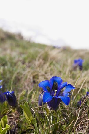 gentian flower: Gentian alpine flower Stock Photo
