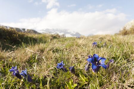 gentian flower: Gentia flowers on the alps
